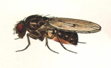Illustration of fly