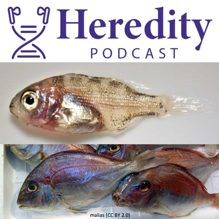 Image of red sea bream below the Heredity Podcast logo
