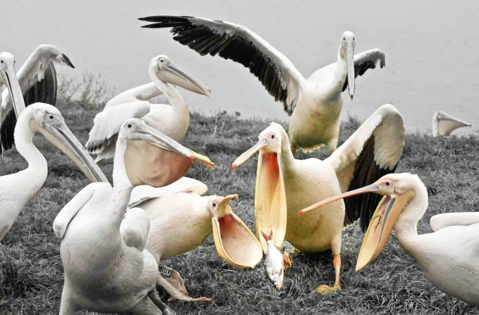 Photograph of pelicans