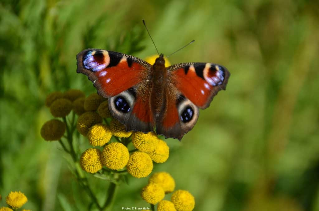 Photograph of a pair of butterfly